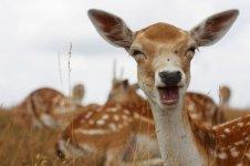 deer-dama-dama-768x510.jpg